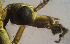 Crane Fly (bse303) Tags: cranefly microscope