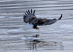 A Bad Day For a Fish (Winglet Photography) Tags: wingletphotography georgewidener stockphoto earth wisconsin canon 7d georgerwidener necedah baldeagle nature wildlife fishing petenwelldam flowage wisconsinriver