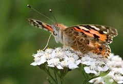 Distelvlinder (Vanessa Cardui) (Ger Bosma) Tags: img102388orig distelvlinder paintedlady cosmopolitan vanessacardui distelfalter vanesadeloscardos vanesseduchardon vlinder butterfly closeup frontal pose werkaandemuur