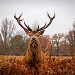 Deer of Bushy Park
