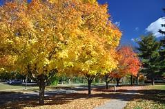 Reliable Performers (cmu chem prof) Tags: mountpleasant isabellacounty michigan autumn fallcolor circularpolarizer centralmichiganuniversity mapletree