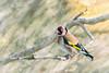 Jilguero europeo (Carduelis carduelis. Linnaeus, 1758) (EcoFoco juanma.coria) Tags: arrocampo aves campoarañuelo embalse españa extremadura fauna invierno jilgueroeuropeocardueliscarduelislinnaeus1758 macho naturaleza pantano passeriformes saucedilla