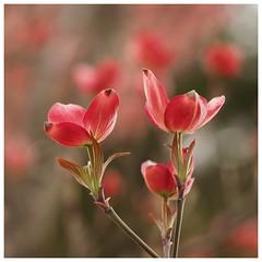 Series: Dogwood Blossoms  #California #Sacramento #latergram #flower #blossom #dogwood #goodlight #pink (word problem) Tags: california sacramento latergram flower blossom dogwood goodlight pink