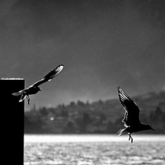 Bellagio, Lago di Como, Italia (pom.angers) Tags: canoneos400ddigital 2009 february lagodicomo lombardia bellagio gabbiano gull seagull bird birds italia italy europeanunion 200 5000 100 150 300