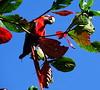 Guacamayo Municipio de Tortuguero Costa Rica 09 (Rafael Gomez - http://micamara.es) Tags: guacamayos guacamayas guacamayo guacamaya loro ara rojo animales fauna municipio de tortuguero costa rica animal al aire libre suelto pueblo poblacion