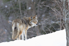 Coyote walking in the winter snow (Jim Cumming) Tags: alert animal beautiful canada canine carnivore cold coyote dog forest fur gray hunter hunting looking mammal meadow mountains national nature nobody outdoors park predator prowl quebec snow standing tail white wild wildlife winter whitebackground whitelandscape winterlandscape wintersnow