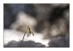 Campanilla de invierno ( Galanthus nivalis) (Juan J. Marqués) Tags: campanilla invierno nieve luz