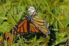 Monarch_Butterfly_P1710929_edited-1 (sendtoGandO) Tags: skagitcounty monarchdanausplexippus