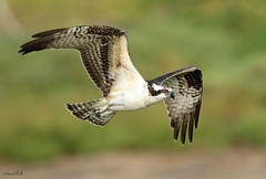 OSPREY (sea25bill) Tags: california morning summer sun bird animal wildlife raptor slough osprey birdofprey seahawk