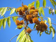 Jagera pseudorhus var. pseudorhus 19 (barryaceae) Tags: kooloobung creek nature park port macquarie new south wales australia australianrainforestplant ausrfps sapindaceae order sapindales soapberry family