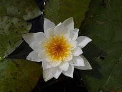 Nymphaea alba (zxc6789) Tags: white plant flower water finland lily alba aquatic oulu ssp nymphaeaceae lumme lumpeet vesikasvi