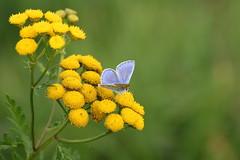 argus bleu (bratschy1) Tags: alsace basrhin eschbourg argusbleu