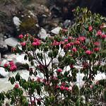 杜鵑-20140413-1352-Nepal Trip-ABC Trekking(Annapurna Base Camp)-LR thumbnail