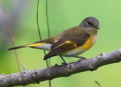 American redstart female at Taylor's Pond IA 854A9911 (lreis_naturalist) Tags: county female pond howard reis iowa american larry taylors redstart