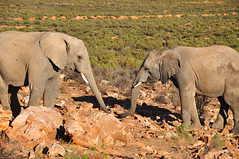 elephants_1 (Dime Pashoski) Tags: africa nature desert south safari rhino elephants aquila bufallo