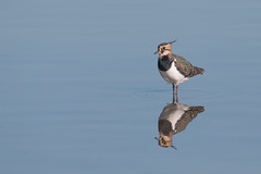 Just a lapwing but... (Andrew_Leggett) Tags: reflection pool lapwing vanellusvanellus wader rspboldmoor andrewleggett