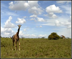 g_AK38934b (KrisFricke) Tags: kenya nairobi safari giraffe nairobinationalpark