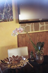 Orchid - Film (Stefania Papagni) Tags: camera flowers summer italy plants house plant orchid flower cute verde green love film home nature beautiful analog corner 35mm canon project lens photography 50mm gold photo casa italian colorful italia photographie estate natural kodak ae1 natura iso f 200 roll rolls mm asa fotografia fiori f18 18 50 35 fiore piante italie analogica italiana pianta analogic pellicola italienne orchiedea