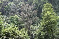 Dinghushan/ - Caryota ochlandra/ 5704 (Petr Novk ()) Tags: plant nature forest asia unidentifiedplant wildlife palm guangdong tropical asie  zhaoqing liuzhou tropicalforest   arecaceae   rostlina  caryota  dinghushan   caryotaochlandra