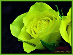 """""""Lovely yellow roses appear to smile in the sunshine."""" (martian cat) Tags: rose ©martiancatinjapan allrightsreserved© ©allrightsreserved flower nature martiancatinjapan© macro closeup flowers onblack ☺allrightsreserved allrightsreserved ☺martiancatinjapan creativity martiancat martiancat© ©martiancat martiancatinjapan"""