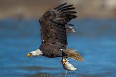 Fly fishin (Khurram Khan...) Tags: winter nature ilovenature fishing eagle birding baldeagle migration raptors birdofprey winterbirds ilovewildlife