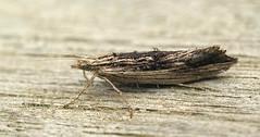 20140521-DSC00910 klein (Medium).jpg (henk.wallays) Tags: 2014 201405 aaaa arthropoda date falter henkwallays insect lepidoptera micromoths schmetterlinge vlinders closeup insecta insecte insekt macro microlepidopteraspecies nature natuur skubvlerkiges wildlife лускакрылыя тәңкәҡанатлылар күбәләктәр матылі