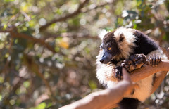 LEMUR-PARK-56 (RAFFI YOUREDJIAN PHOTOGRAPHY) Tags: park city travel trees plants baby white cute green animal fauna canon river jumping sweet turtle wildlife bricks mother adorable adventure explore lemur 5d lemurs bushes madagascar 70200 antananarivo mkiii