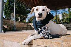 dapper dog (Gail at Large | Image Legacy) Tags: portugal viseu 2015 gailatlargecom peneladabeira icethedog