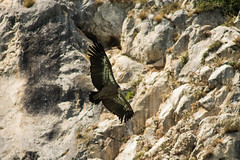 Griffon vulture, beloglavi sup ( Gyps fulvus ) (leka202) Tags: bird ecology fly flying conservation vulture biology sup avian biodiversity griffon gyps fulvus beloglavi