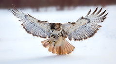 Red tailed hawk (Phiddy1) Tags: ontario canada birds hawk flight redtailed redtailedhawk