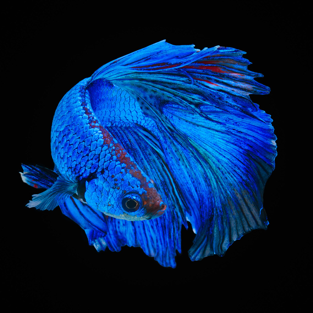 The world 39 s best photos of betta and thailand flickr for Best water for betta fish