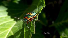 Jewel Bug.                                               Scutelleridae (kuper5) Tags: bug jewel scutelleridae
