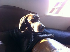 Sunny thanksgiving (VanaTulsi) Tags: dog weimaraner weim blueweimaraner vanatulsi blueweim