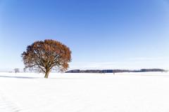 Noch ist es nicht so weit (blichb) Tags: 2015 baum bayern canon6d deutschland germany moorenweis tree bavaria blichb schnee sigma2470mm128dghsm snow winter de