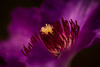 Clematis Heart (DrScottA) Tags: flower clematis macro waterdrops anthers stamen purple garden uk