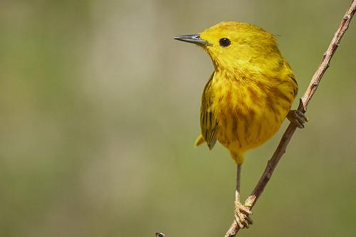 Yellow Warbler 1439 1