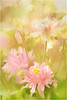 Dreamy Meadow (cindyz48) Tags: columbine pink flower effects artisic dreamy blur pastel flora bloom wildflower mystical serene magical paint