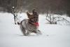 _DSC4944 (sochacki.info) Tags: szyszka griffon wirehaired pointing wpg gundog winter snow hunting dog poland sanok forest walk outside freezing
