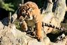 Tantrum Tigress (Ger Bosma) Tags: 2mg142773 sumatraansetijger pantheratigrissumatrae sumatrantiger sumatratiger tigredesumatra tigredisumatra tiger tijger tigress суматранскийтигр tygryssumatrzański young cub closeup