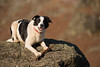 "2/52 .. ""Always Take Your Stick"" (JJFET) Tags: 2 52 weeks for dogs elk sheepdog border collie dog"
