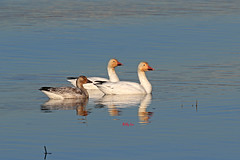 Snow Goose - 002-089A0423-R (Billyliu2012) Tags: billyliu2012 billy liu snowgoose goose