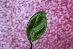 Hoja Albahaca 1 (cuartocolor) Tags: cuartocolor verde albahaca basil green leaf
