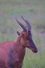 IMGP0825b (Micano2008) Tags: kenia africa pentax parquenacional masaimara mamifero topi damaliscuskorrigum