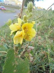 203 (en-ri) Tags: fiorellini giallo sony sonysti