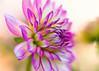 Dahlia (mclcbooks) Tags: flower flowers floral macro closeup dahlia dahlias denverbotanicgardens colorado focusstacking zerenestacker