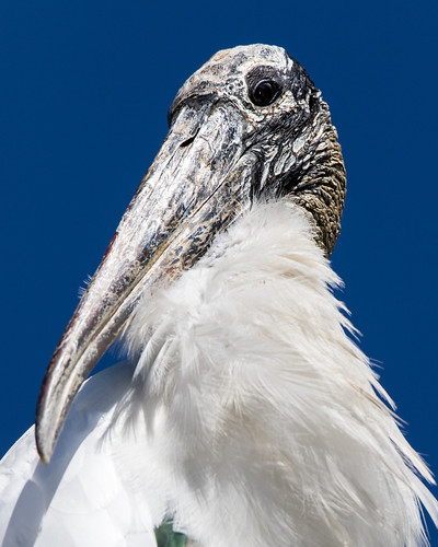 Wood stork or wizard with feathers?