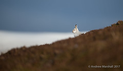 Snow line (Gowild@freeuk.com) Tags: mountainhare lepustimidus snow winter white bluesky cairngorm nationalpark scotland scottish highlands mountain fur coat heather wild wildlife nature outdoor sky andrewmarshall nikon d4 500mm photography