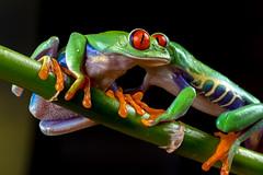 Red-Eyed Tree Frogs, CaptiveLight, Bournemouth, Dorset, UK (rmk2112rmk) Tags: redeyedtreefrogs captivelight bournemouth dorset uk agalychniscallidryas treefrog frog amphibian macro bokeh herps