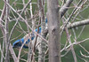 Birdwatching 20150108 (caligula1995) Tags: 2015 plumtree scrubjay