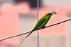 Morning toss (Rajib Singha) Tags: travel nature bird prey habitat interestingness flickriver canoneos40d tamron70300f456divclens sheoraphuli hooghly westbengal india